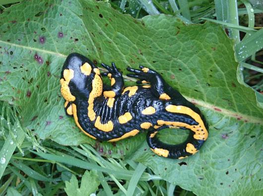 Feuersalamander (Salamandra salamandra) auf Ampfer-Blatt
