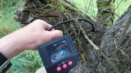 Videoskopie eines Mäusenestes in einer Asthöhle eines anbrüchigen Apfelbaumes einer Streuobstwiese