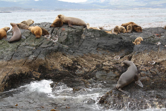 Sealions in the bay of Ushuaia