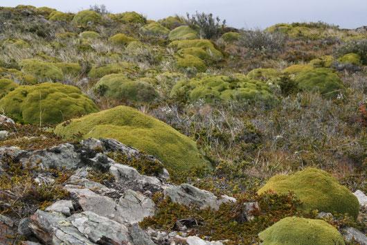 Diese kugelartigen Gewächse können bis zu 1000 Jahre alt werden und sind erstaunlich hart...