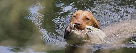 Schwimmende Vizsla-Jagdhunde aus der Zucht von Neibur