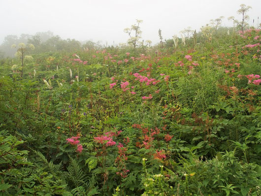 下山時、南龍分岐で雨がぽつぽつと。                             今日見たお花畑ではここが印象的でした。この後甚之助では本降りになった。