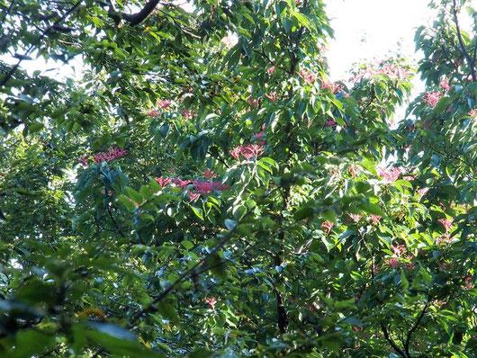 森林帯の中でゴンズイの大木にたわわに実を付けています。日当たりがいいのでしょう。