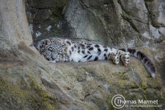 Schneeleopard (Jungtier)
