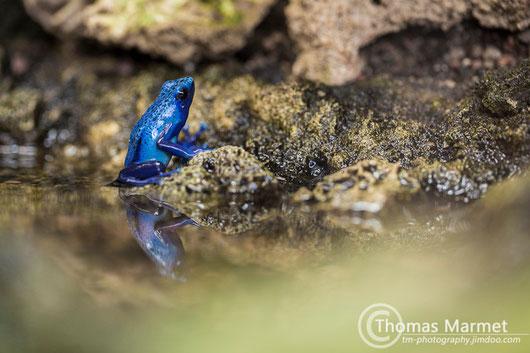 blauer Pfeilgiftfrosch