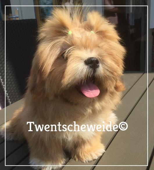 boomer hond bruine kruising shih tzu