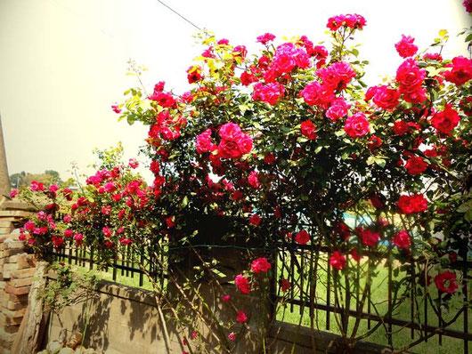 現在の様子。赤薔薇