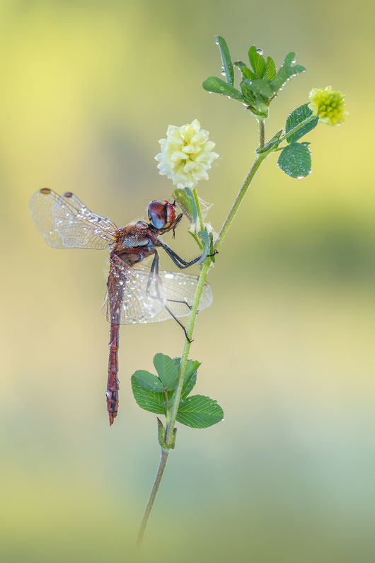 Sympetrum fonscolombii ♂