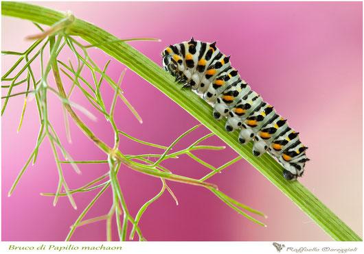 bruco di Papilio machaon, Nikon D300s, Tamron SP 180mm f/3.5 Di LD Macro, 1/6 f/13.0, ISO 400, treppiede.