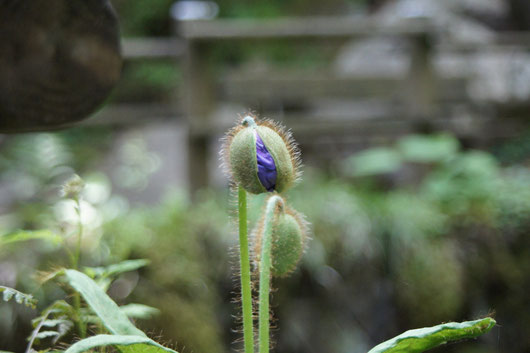 ヒマラヤの青いケシ(栽培)