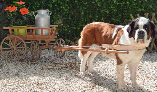 Harnais attelage grand chien, harnais attelage st-bernard, harnais attelage Terre Neuve, harnais attelage Bouvier Suisse, harnais attelage Montagne des Pyrénées