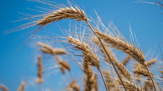 La deuxième fête obligatoire dans l'ancien Israël est la fête des Semaines appelée ainsi car les Israélites devaient compter sept semaines à partir du 16 Nisan, jour où le grand prêtre présentait la gerbe des premiers épis mûrs ou prémices de la moisson.