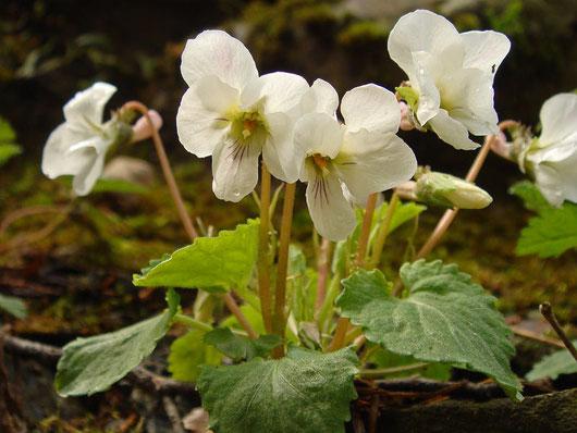 ヒゲマルバスミレ (髭丸葉菫) スミレ科 スミレ属 Viola keiskei f. barbata