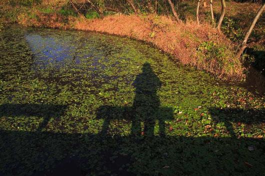 アサザ池(アサザは移植されたもの)