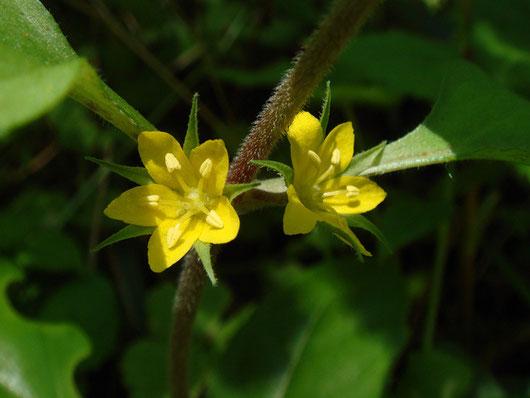 コナスビ 茎の葉腋に葉に隠れるように花をつけます