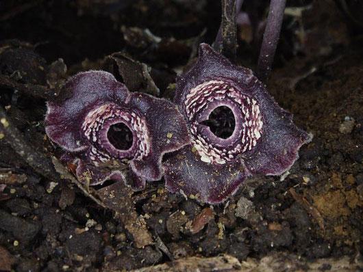 タマノカンアオイ  萼筒の縁が波打つのが特徴