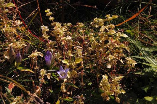 ナゾの植物 トキホコリを連想したが...別の植物