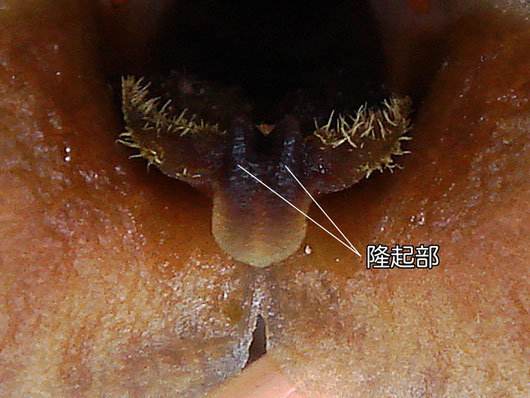 クロヤツシロランの唇弁には毛が生える