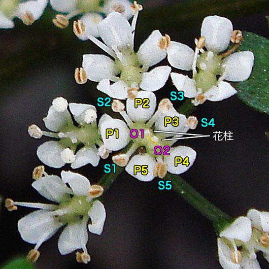 #12 セントウソウの花の各要素の配置