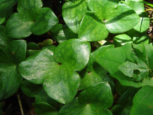 オオミスミソウの葉