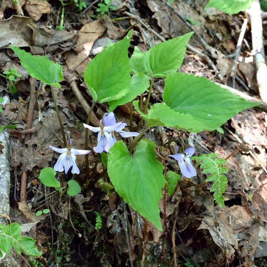 スミレサイシン  花期には葉の基部が展開しきれていないことが多い