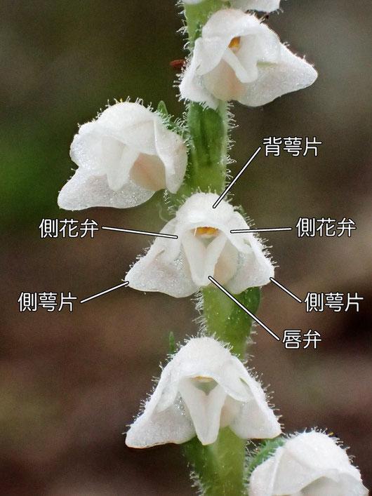 ヒメミヤマウズラの花の構造 正面より(背萼片、側花弁、側萼片、唇弁)