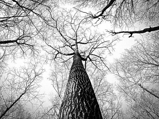 Foto de árboles  sin hojas, vistos desde el suelo uniendo sus copas