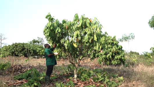 Setting up a demonstration plot for the rehabilitation of cocoa orchards