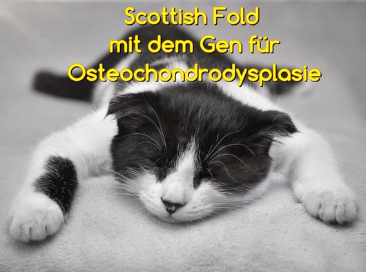 Scottish Fold katze mit dem Gen für die unheilbare Erbkrankheit Osteochondrodysplasie, Foto: Pixabay