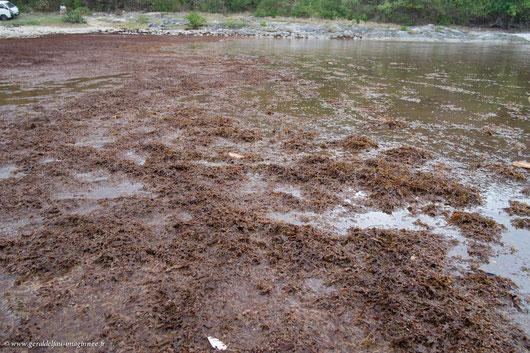 Amas d'algues Sargasses sur la plage de la Porte d'Enfer à la Guadeloupe