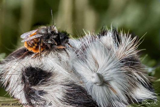 Osmia cornuta Gehörnte Mauerbiene Paarung Insektennisthilfen Nisthilfen Insektenhotel solitary bee wild bee insect nesting aid insect hotel hornfaced mason bee  mating copulation