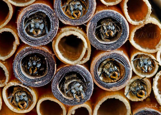 Insektennisthilfe Insektenhotel Nisthilfe Pappröhrchen Scherenbiene insect nesting aid insect hotel mason bee paper tube scissor bee