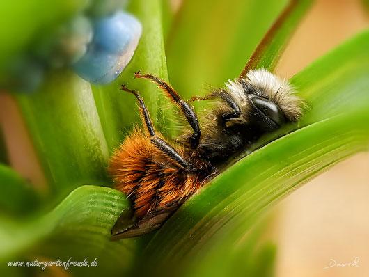 Gehörnte Mauerbiene Omisa cornuta Wildbiene Schlaf