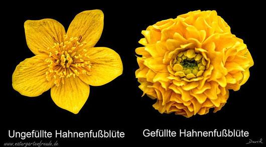 Gefüllte Blüten ungefüllte Blüten