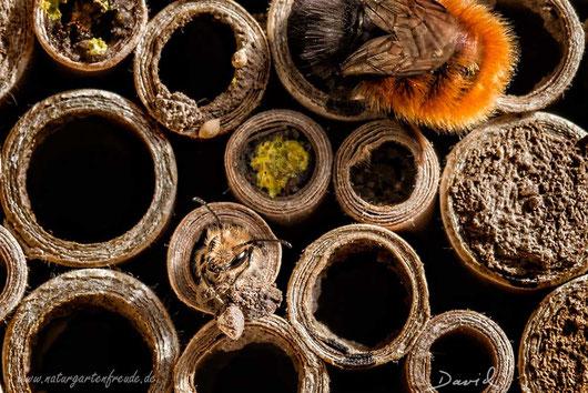 Insektennisthilfe Insektenhotel Nisthilfe Pappröhrchen Scherenbiene Gehörnte Mauerbiene Osmia cornuta insect nesting aid insect hotel mason bee paper tube hornfaced bee scissor bee