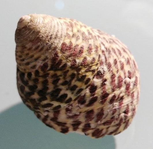 Phorcus turbinatus , Santa Severa.