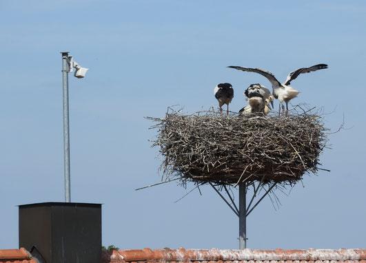 Das Hockenheimer Storchennest mit vier Jungstörchen (Foto: Gabi Picke 2017)