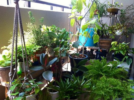 観葉植物は、あまり直射日光は良くないんだけど、たまには日光浴させるのも活性化しそうでいいと思い、部屋の植物をベランダに3時間程出した。 *気持ち喜んでいるように感じる。