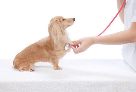 Chien se faisant ausculter par le vétérinaire à l'aide de son stéthoscope