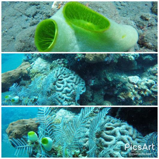 AlamBatu Bali 2017 Hausriff Korallen Unterwasserwelt erster Tauchgang im Meer
