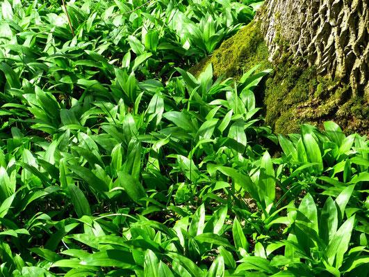 Bärlauch wächst an geeigneten Stellen in Massen