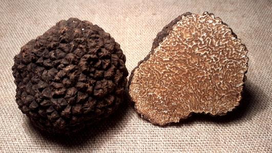 Trüffel sind knollenförmige Fruchtkörper eines Pilzes und wachsen unterirdisch (hypogäisch). Die Trüffeln, die wir essen, sind nur der Fruchtkörper, also das Vermehrungsorgan eines Pilzgeflechtes. Dieses groß-wachsende Geflecht von fadenförmigen Pilzzelle