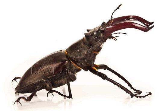 Männlicher Hirschkäfer (Lucanus cervus)