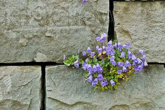 Die Zwerg-Glockenblume (Campanula cochlearifolia) Pflanzen, eine filigrane Schönheit (Foto Kerstin Lüchow, www.naturgartenvielfalt.de)