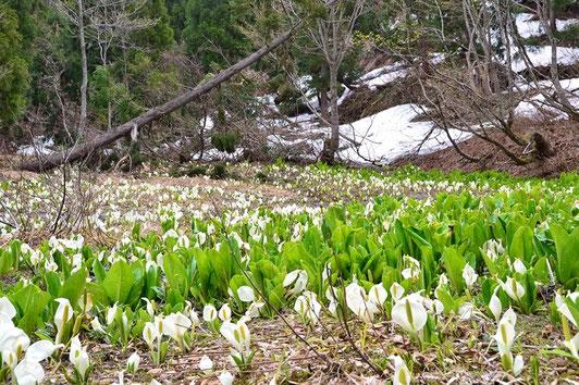 雪解けが斑だったのでしょう。ミズバショウは雪解けに合わせて咲くので一斉には咲いていません。