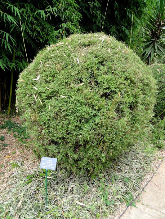 """Bambusa multiplex - Kunming Botanical Garden - DSC03060"" by Daderot - I took this photograph.. Licensed under パブリック・ドメイン"