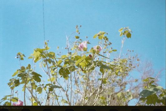 路傍の花と初冬の青空をフィルムカメラで|Rollei 35Tとフジフイルム業務用100