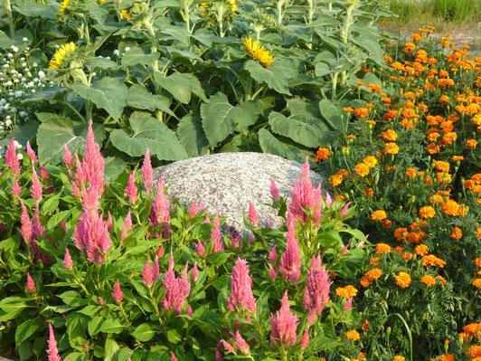 マリーゴールド(黄)、サルビア(赤)、ひまわり(矮小せい)など、夏の花がいっぱい。