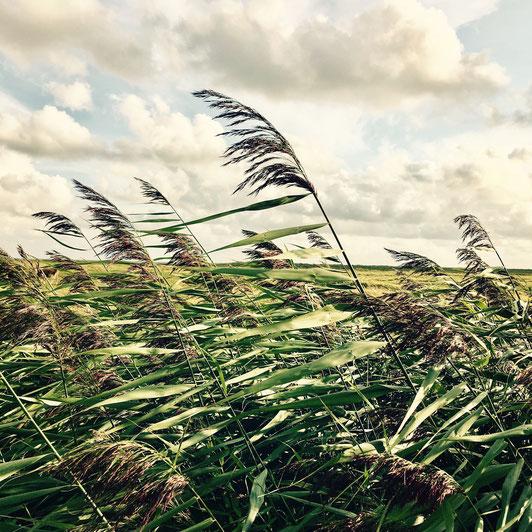 Gräser im Wind auf Föhr