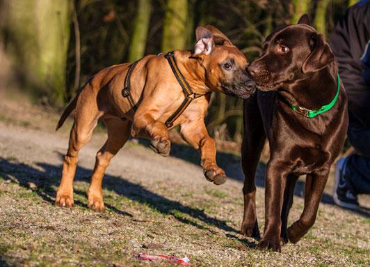 Hundeschule GOOD DOGS - Offenbach - Heusenstamm - Rodgau - Obertshausen - Junghunde - Erziehung - Spiel